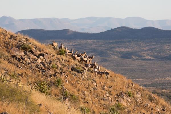 Return of the Desert Bighorn