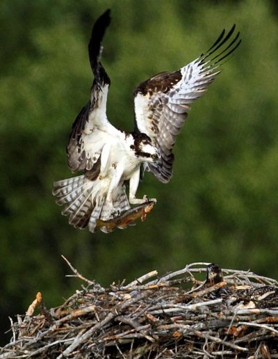 FerrisJa-Morning-Osprey-Returning-Home-With-Breakfast_1