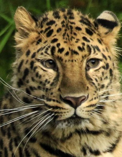 Rare Amur- Up Close and Personal - James Ferris (2019 Winner - 2nd Place)
