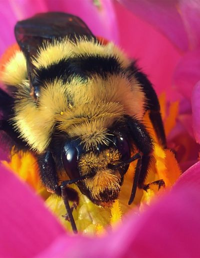 Queen Bumble Bee--Bombus huntii - Ryan Bartlett